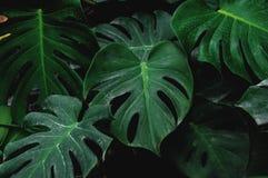 Низкий ключ, зеленые листья Monstera засаживает расти в одичалом, тропический завод леса Стоковая Фотография RF