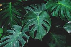 Низкий ключ, листья Monstera засаживает расти в одичалом, тропический завод леса стоковые изображения