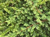 Низкий растущий можжевельник стоковые фотографии rf