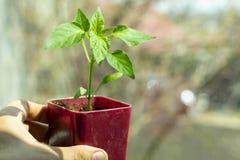 Саженцы весны Низкий росток перца в руке, который выросли дома в коробках Ростки перца, который выросли от семян стоковая фотография