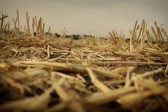 Низкий угол сухой травы глобальное потепление принципиальной схемы Стоковая Фотография