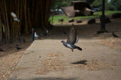 Низкий уровень летания голубя в парке стоковое изображение rf