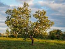 Низкое дерево в парке на заходе солнца стоковая фотография rf