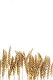 низкопробная пшеница стоковая фотография rf