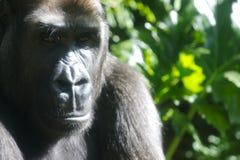 низменность горилл западная Стоковое фото RF