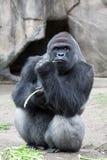низменность гориллы западная Стоковые Изображения RF