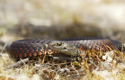 Низменность Copperhead (superbus Austrelaps) стоковое фото