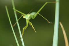 Нимфа Mantis Стоковое фото RF