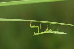Нимфа Mantis Стоковое Изображение