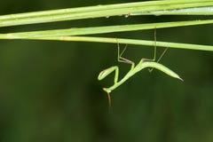 Нимфа Mantis Стоковая Фотография RF