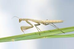 Нимфа Mantis Стоковое Изображение RF