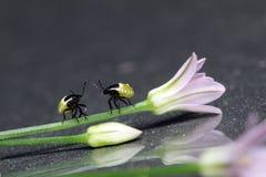 Нимфы Stinkbug Стоковые Изображения RF