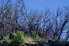 Новая жизнь между мертвыми деревьями Стоковые Изображения