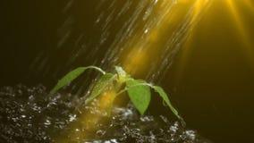 Новая жизнь, пускает ростии с листьями, намочила с падениями, черной предпосылкой видео- петля, замедленное движение видеоматериал