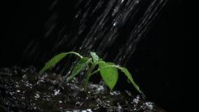 Новая жизнь, пускает ростии с листьями, намочила с падениями, черной предпосылкой ( сток-видео
