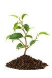 Новая жизнь растений Стоковое Изображение RF