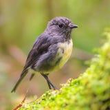 Новая Зеландия Робин на лесе зеленого имени пользователя естественном Стоковое фото RF