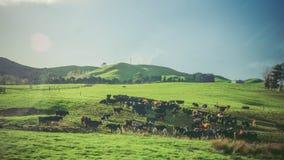 Новая Зеландия: ландшафт фермы с много коровы Стоковое Изображение RF