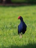 Новая Зеландия Pukeko, пурпур swamphen Стоковые Изображения RF