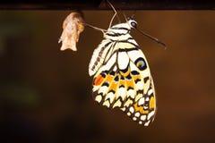 Новая метаморфоза бабочки стоковое изображение rf