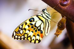 Новая метаморфоза бабочки стоковое фото