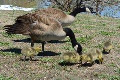 Новая семья гусыни Канады родителей и гусят Стоковая Фотография RF