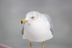Новая чайка порта Стоковая Фотография RF