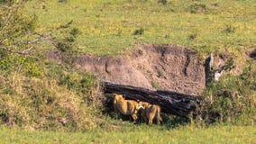 2 новичка льва ищут вертеп в саванне masai Кении mara стоковое изображение