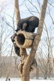 2 новичка медведя играют в дереве вместе с енотами, енотами, который побежали прочь с древесиной от медведей Стоковое Фото