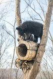 2 новичка медведя играют в дереве вместе с енотами, енотами, который побежали прочь с древесиной от медведей Стоковые Изображения RF