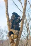 2 новичка медведя играют в дереве вместе с енотами, енотами, который побежали прочь с древесиной от медведей Стоковое фото RF