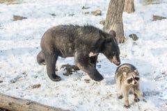 2 новичка медведя играют в дереве вместе с енотами, енотами, который побежали прочь с древесиной от медведей Стоковые Фото