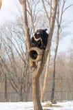 2 новичка медведя играют в дереве вместе с енотами, енотами, который побежали прочь с древесиной от медведей Стоковая Фотография