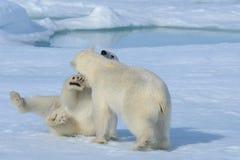 2 новичка полярного медведя играя совместно на льде Стоковые Изображения