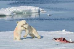 2 новичка полярного медведя играя совместно на льде Стоковые Изображения RF