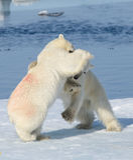 2 новичка полярного медведя играя совместно на льде Стоковая Фотография