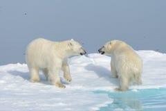 2 новичка полярного медведя играя совместно на льде Стоковые Фотографии RF