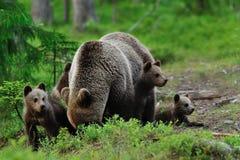 Новички бурого медведя с медведем матери Новички медведя с родителем Стоковые Фотографии RF