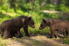 Новички бурого медведя встречая в финском лесе Стоковая Фотография