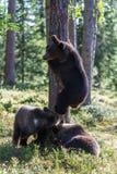 Новички бурого медведя в лесе Финляндии Стоковая Фотография RF