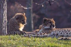 Новички гепарда кладя вместе с их семьей гепард k стоковые изображения rf