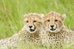 новички гепарда Стоковое Изображение