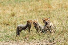 новички гепарда Стоковые Изображения