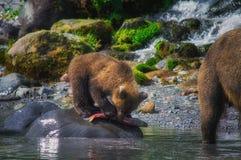 Новички женщины и медведя бурого медведя Камчатки улавливают рыб на озере Kuril Камчатский полуостров, Россия Стоковые Изображения