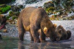 Новички женщины и медведя бурого медведя Камчатки улавливают рыб на озере Kuril Камчатский полуостров, Россия Стоковое Фото