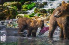 Новички женщины и медведя бурого медведя Камчатки улавливают рыб на озере Kuril Камчатский полуостров, Россия Стоковая Фотография