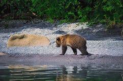 Новички женщины и медведя бурого медведя Камчатки улавливают рыб на озере Kuril Камчатский полуостров, Россия Стоковые Фото