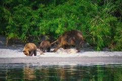 Новички женщины и медведя бурого медведя Камчатки улавливают рыб на озере Kuril Камчатский полуостров, Россия Стоковое Изображение RF