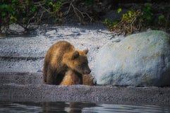 Новички женщины и медведя бурого медведя Камчатки улавливают рыб на озере Kuril Камчатский полуостров, Россия Стоковое фото RF