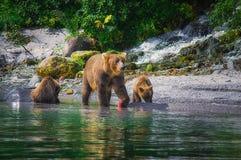 Новички женщины и медведя бурого медведя Камчатки улавливают рыб на озере Kuril Камчатский полуостров, Россия Стоковые Фотографии RF